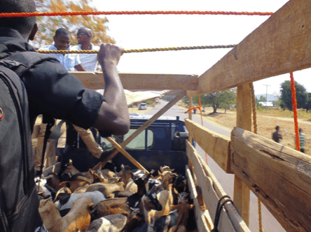 Determined to Develop Expands Womens Revolving Goat Project 2